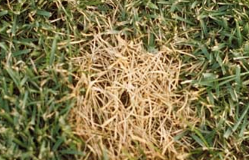 Lawn Disease In Your Lawn.